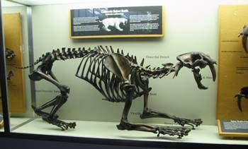 Crouching Smilodon display, La Brea Tar Pits Museum, Los Angeles, CA.