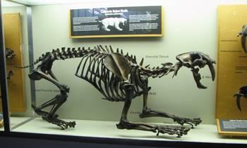 Crouching Smilodon display, La Brea Tar Pits Museum, Los Angeles, CA.