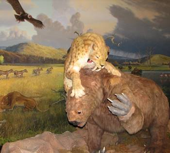 Animatronic Smilodon attacking a giant ground sloth (Megatherium). La Brea Tar Pits Museum, Los Angeles, CA.
