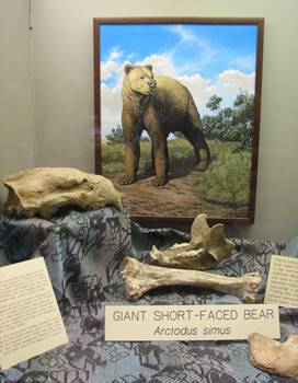 Arctodus bones, including rare and giant skull. Mammoth Site of Hot Springs, Hot Springs, SD.