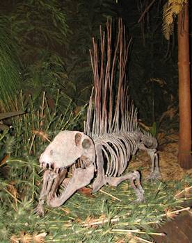 Wonderful Dimetrodon display at the Sam Noble Oklahoma Museum of Natural History, Norman, OK.