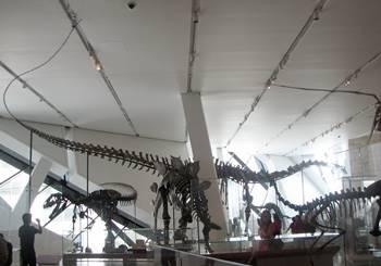 Allosaurus and Barosaurus dominate the Jurassic display, Royal Ontario Museum, Toronto, ON.