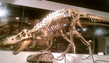 The Asian Tyrannosaur Tarbosaurus on display at the Arizona Museum of Natural History, Mesa, AZ.