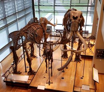 Large mammal collection at the Beneski Museum of Natural History, Amherst College, Amherst, MA.
