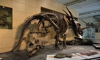 Styracosaurus display, Canadian Museum of Nature, Ottawa, ON.