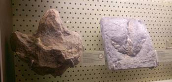 Tracks from the Clayton Lake State Park dinosaur tracksite on display at the New Mexico Museum of Natural History in Albuquerque, NM.