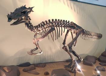Dracorex display, Children's Museum of Indianapolis, Indianapolis, IN.