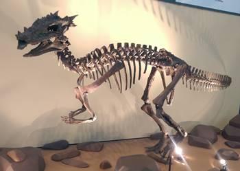 Dracorex display, Children's Museum of Indianapolis, Indianapolis, IN.