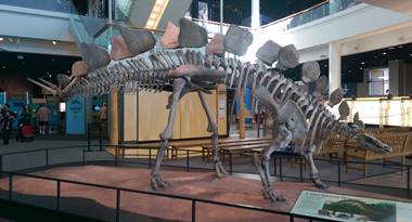 Stegosaurus display, Science Museum of Minnesota, St. Paul, MN.