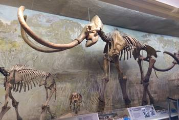 Huge Columbian mammoth at the University of Nebraska State Museum, Lincoln, NE.