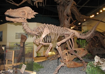 "Cast of ""Sandy"" the Pachycephalosaurus. Rocky Mountain Dinosaur Resource Center, Woodland Park, CO."
