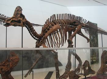 Corythosaurus display at the Royal Ontario Museum, Toronto, ON.