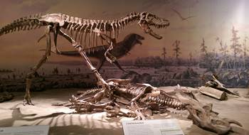 Gorgosaurus and a vanquished Centrosaurus. Royal Tyrrell Museum, Drumheller, AB.