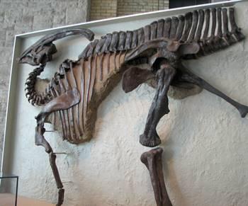 The fascinating Parasaurolophus. Royal Ontario Museum, Toronto, ON.