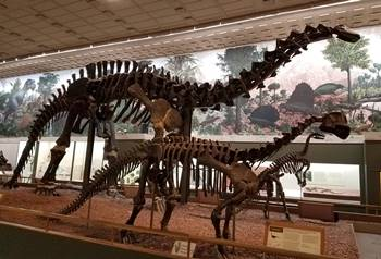 Sauropod display at the Yale Peabody Museum, New Haven, CT.