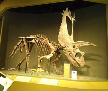 Titanoceratops, with a monstrously large skull. Sam Noble Oklahoma Museum of Natural History, Norman, OK.