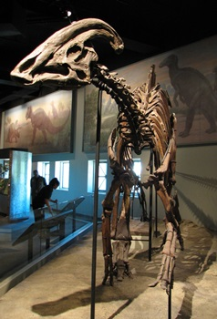 Parasaurolophus on display at The Field Museum, Chicago, IL.