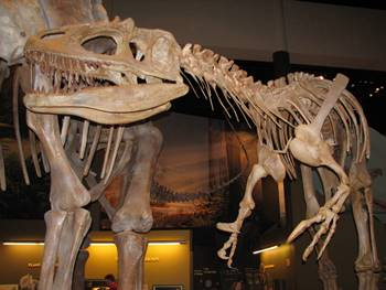 The state fossil of Oklahoma, the mighty Saurophaganax. Sam Noble Oklahoma Museum of Natural History, Norman, OK.