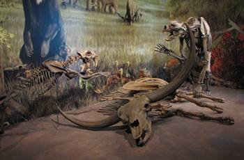 A Smilodon leaps toward Arctodus, fighting over the remains of an ancient bison. Sam Noble Oklahoma Museum of Natural History, Norman, OK.