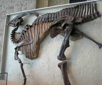 Terrific Parasaurolophus on display at the Royal Ontario Museum, Toronto, ON.