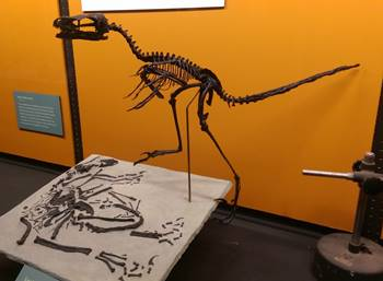Bambiraptor on display at the KU Natural History Museum, University of Kansas, Lawrence, KS.