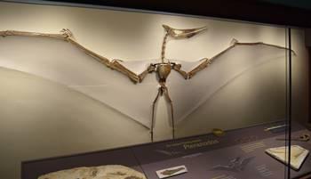 Terrific Pterandon display at the KU Natural History Museum, University of Kansas, Lawrence, KS.