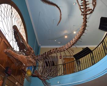 Incredible Tylosaurus hanging in the lobby of the KU Natural History Museum. University of Kansas, Lawrence, KS.