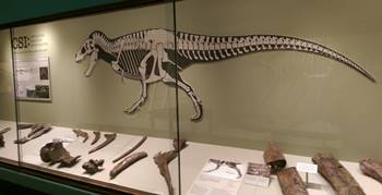 "The KU Natural History Museum display ""Cretaceous Skeleton Investigation."" University of Kansas, Lawrence, KS."