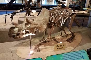 Juvenile Avaceratops on display at the Academy of Natural Sciences of Drexel University, Philadelphia, PA.