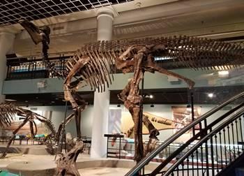 Beautiful Corythosaurus mount at the Academy of Natural Sciences of Drexel University, Philadelphia, PA.