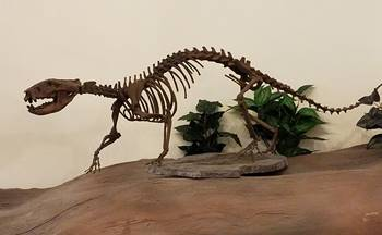 Didelphodon mount at the Rocky Mountain Dinosaur Resource Center, Woodland Park, CO.