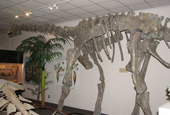 Camarasaurus on display at the BYU Museum of Paleontology, Brigham Young University, Provo, UT.