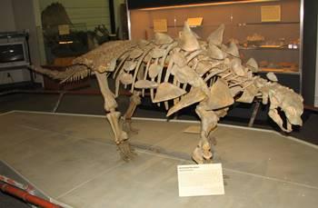 Gastonia display, BYU Museum of Paleontology, Brigham Young University, Provo, UT.