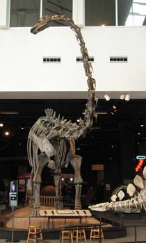 This Diplodocus was discovered by Minnesota high school students. Science Museum of Minnesota, St. Paul, MN.