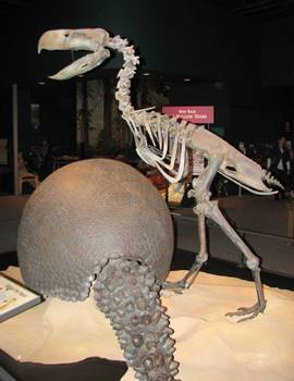 "Giant South American ""terror bird"" Phorusrhacos. Science Museum of Minnesota, St. Paul, MN."