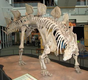 Stegosaurus display at the Science Museum of Minnesota, St. Paul, MN.