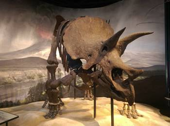 The fantastic Triceratops at the Science Museum of Minnesota, St. Paul, MN.