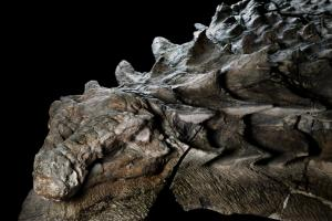 Fabulous nodosaur fossil from Alberta. Photo credit: Robert Clark, National Geographic.