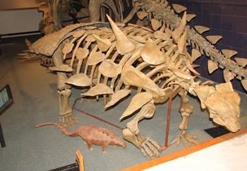 Beautiful Gastonia mount at the Utah State University Eastern Prehistoric Museum in Price, UT.