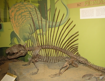 The terrific Dimetrodon at the Cleveland Museum of Natural History, Cleveland, OH.