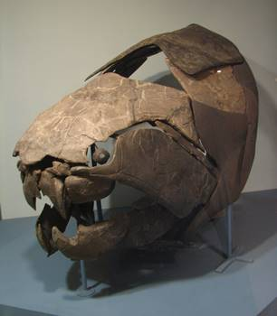 The massive Devonian armored fish Dunkleosteus at the Cleveland Museum of Natural History, Cleveland, OH.