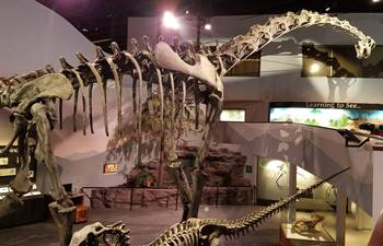 Brachiosaurus cast on display at the Museum of Ancient Life, Lehi, UT.