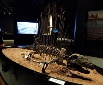 A cast of Dimetrodon on display in the Tracks Museum at Moab Giants, Moab, UT.