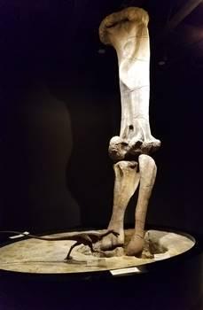 "Cast leg bones of the sauropod dinosaur Mamenchisaurus, shown ""making"" a footprint. Moab Giants, Moab, UT."