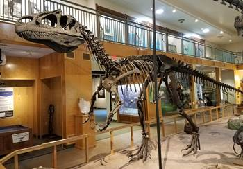 """Big Al"" the Allosaurus on display at the University of Wyoming Geological Museum, Laramie, WY."
