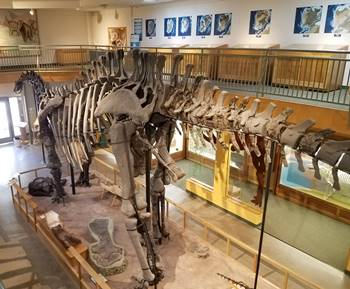 A large Apatosaurus is featured in the main display area at the University of Wyoming Geological Museum, Laramie, WY.