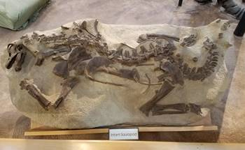 Infant sauropod on display at the University of Wyoming Geological Museum, Laramie, WY.