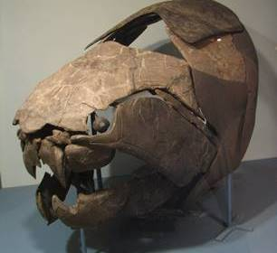 The armored head of the fearsome Devonian fish Dunkleosteus. Cleveland Museum of Natural History, Cleveland, OH.