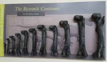 Growth series of Allosaurus femurs on display at the Cleveland-Lloyd Dinosaur Quarry, near Cleveland, UT.