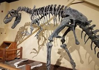 Beautiful fossil skeleton of Allosaurus at the Dinosaur Journey Museum of Western Colorado, Fruita, CO.